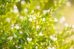 绿草和小的白花在领域 美好的总和 库存图片