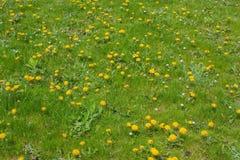 绿草和开花的蒲公英 图库摄影