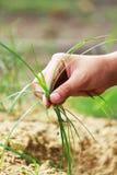 草和手 免版税库存图片