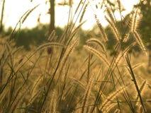 草和日落 库存照片