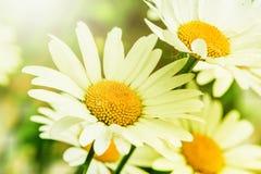 绿草和春黄菊在自然 库存照片