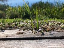 草和木板条在沼泽 免版税图库摄影