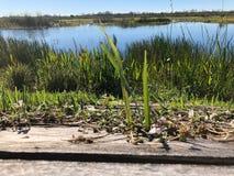 草和木板条在沼泽 免版税库存图片
