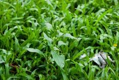 草和杂草, Lumphini公园,曼谷 免版税库存照片