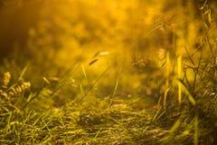 草和植物在黄色阳光和boke抽象背景中 仲夏 库存照片