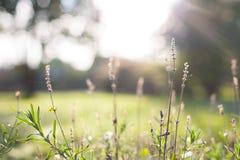 草和植物特写镜头有一个模糊的bokeh秋天早晨日出背景的 免版税库存照片