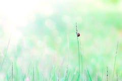 草和瓢虫抽象自然背景  免版税库存图片