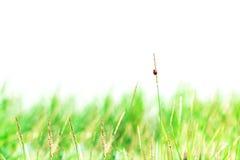 草和瓢虫抽象自然背景  免版税库存照片