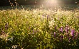 草和花夏天草甸自然背景的领域 免版税库存图片