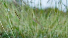 草和露水 库存照片