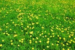 绿草和黄色蒲公英在春天开花 库存照片
