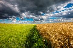 绿草和黄色黑麦领域边界 免版税库存照片