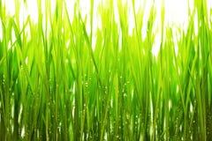 绿草和水frops白色背景 免版税库存图片