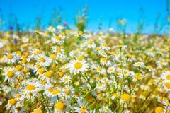绿草和camomiles美丽的草甸作为背景在b 免版税库存图片