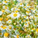 绿草和camomiles美丽的草甸作为背景在b 库存图片