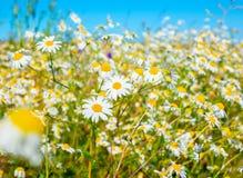 绿草和camomiles美丽的草甸在蓝色背景 免版税库存照片