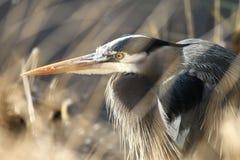 草围拢的一个伟大蓝色的苍鹭的巢的画象 免版税库存照片