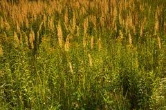 草在反对光的草甸 库存图片