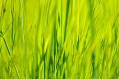 绿草在太阳在迷离背景的夏天阳光下 免版税库存照片