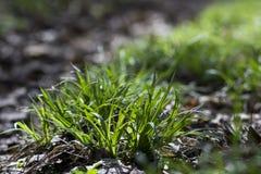 绿草在有阳光和老叶子的森林里 免版税库存照片