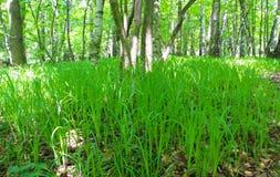 草在森林里 库存照片