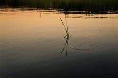 草在水中 免版税库存照片