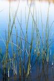 草在池塘 免版税库存图片