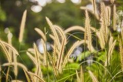 草在酸值Lipe的金黄小时 图库摄影
