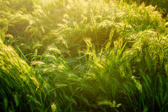 草在阳光下 与阳光的Eco自然绿色和蓝色抽象defocused背景 免版税库存照片