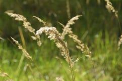 草在阳光下 免版税图库摄影