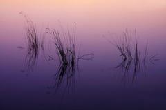 草在黄昏的水中。 库存照片