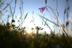 草地早熟禾和花 免版税图库摄影