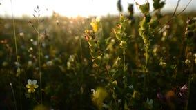 草地早熟禾和花 库存照片