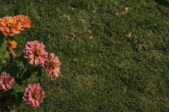 草坪和百日菊属花背景 免版税图库摄影