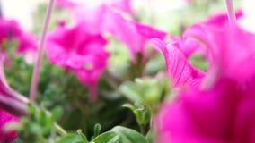 草坪大紫罗兰色愉快花卉生长在夏天在slo mo