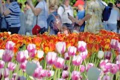 草坪的特写镜头有明亮的红色和浅粉红色的观看和射击他们的郁金香和人的从后面 免版税库存图片