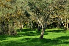 草坪的美丽的景色有橄榄树的 图库摄影