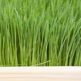 草坪绿草 免版税图库摄影