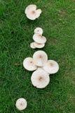 草坪蘑菇 库存照片