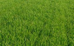 草坪绿色麦子草背景 库存图片