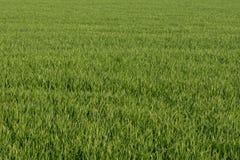 草坪绿色麦子草 免版税库存图片