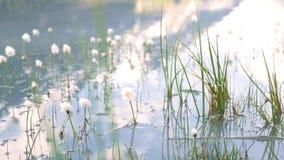 草增长在湖外面 天空反射自然和自然 股票视频