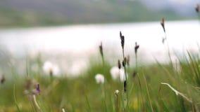 草增长在湖外面 天空反射自然和自然 股票录像