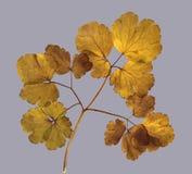 草干秋天叶子种植在白色ba的被隔绝的元素 库存照片