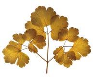 草干秋天叶子种植在白色ba的被隔绝的元素 免版税图库摄影