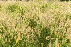 草开花 从太阳的光早晨 库存照片