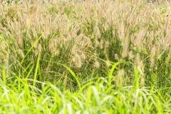 草开花 从自然的光 免版税库存图片