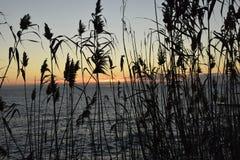 草拂子茅的剪影在日落的 免版税库存图片