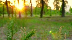 草接近在日落的森林里 夏天横向 影视素材
