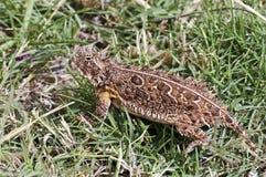 草有角的蜥蜴得克萨斯 库存照片